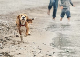 Beagle-On-Beach